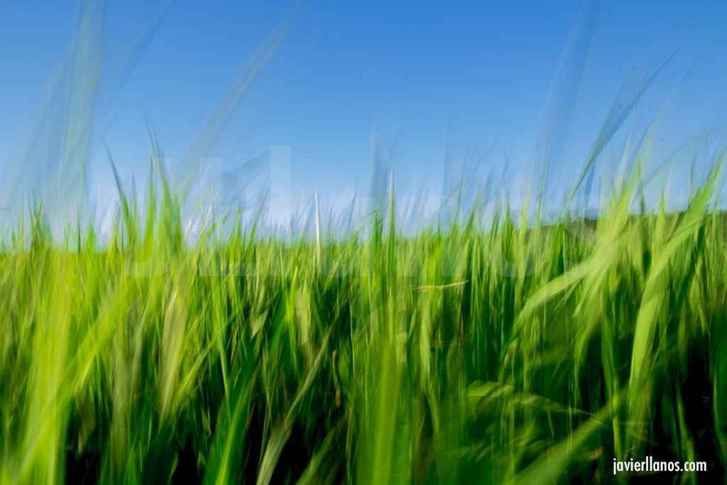 campo-de-maiz-verde