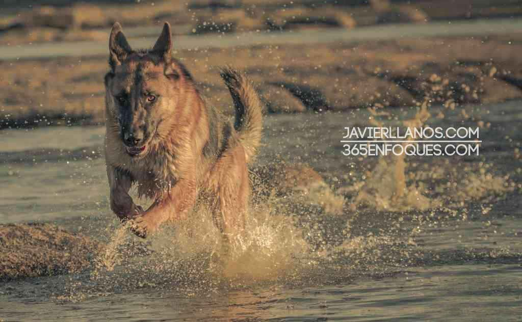 pastor-aleman-corriendo